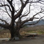 2.푸조나무(4)